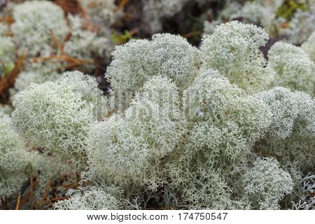 White reindeer moss photo star-tipped Reindeer Lichen Cladina stellaris. Arctic boreal zone nothern forest