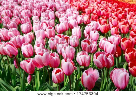 Beautiful red tulips in the spring time.Flowers background.