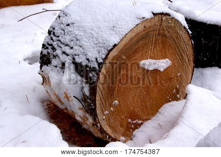 Cut felled pine trees in the snowbound winter forest. Deforestation.