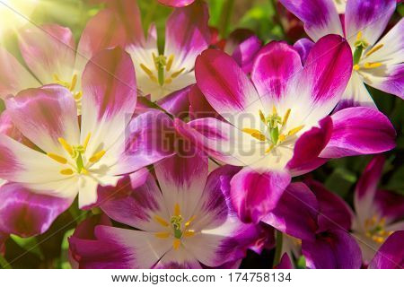 Colorful tulips background. Image of beautiful variegated purple tulip.