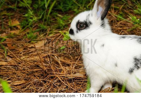 A black and white spotted rabbit walking around