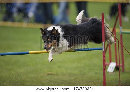 Cute dog jumping on agility competition. He has nice face expression and beautiful long coat. He is in long jump over hurdle.