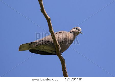 The image of a dove perched on a tree branch. Wild Animals.