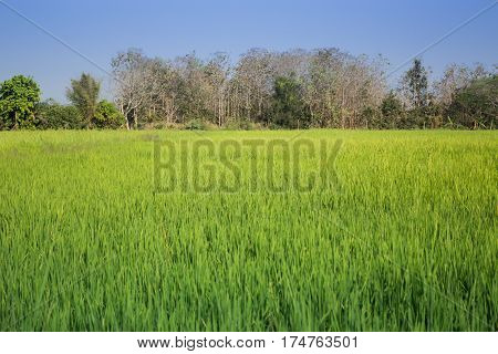 Green Rice Fild With Blue Sky stock photo