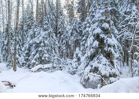 Wild snowy forest. Winter snow-covered forest species of wild nature.