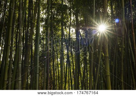 bamboo forest panoramic with sun through the stalks