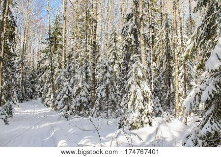 White snowy forest. Winter snow-covered forest species of wild nature.