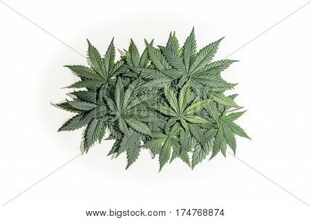 Pile of green cannabis / hemp / ganja / marihuana leafs on white background.
