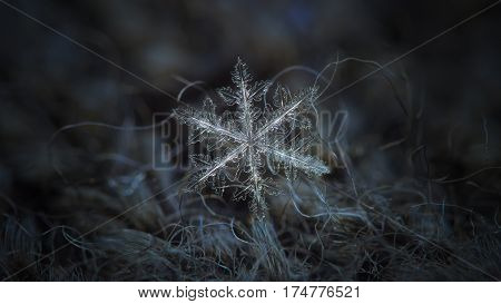 Macro photo of real snowflake: large snow crystal of fernlike dendrite type with complex structure and six long arms, containing lots of side branches and icy