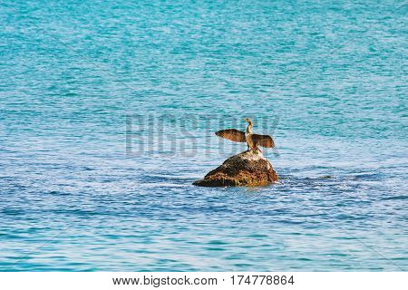 Cormorant Dries Wings while Sitting on a Stone in the Black Sea