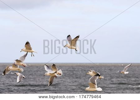 Seagulls flying above the Baltic Sea on the island of Usedom in Poland.