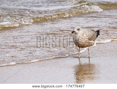 Seagull in the Breakwater on the island of Usedom in Poland.