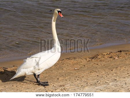 A Swan on the beach on the island of Usedom in Poland.