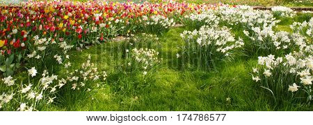 White Daffodils and tulips in the garden. Outdoor shot of daffodils in a nicely full flowerbed in spring.