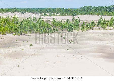 Pinus Elliottii Forest Being Covered By Dunes At Lagoa Dos Patos Lake