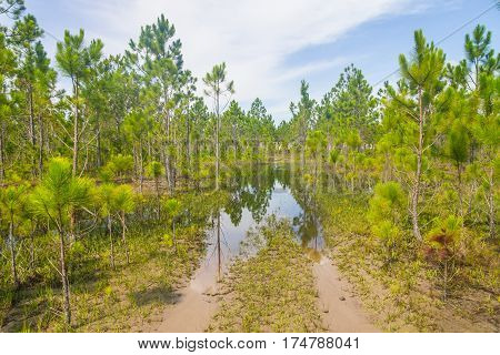 Pinus Elliottii Forest At Lagoa Dos Patos Lake