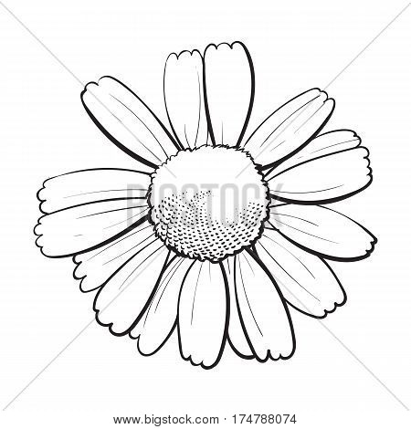 Open black and white chamomile blossom, top view, sketch style vector illustration isolated on white background. Realistic top view hand drawing of wild chamomile, field flower