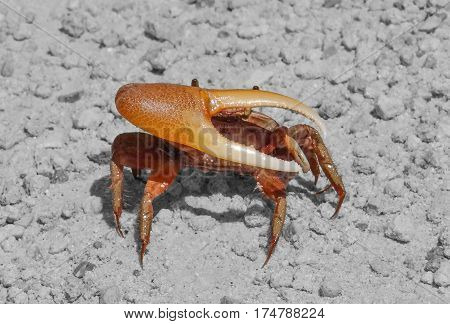 Sea crab claw closed on a background sea of rubble.
