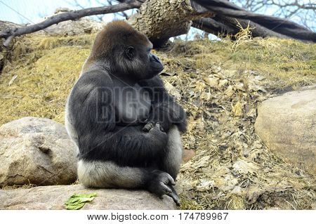 A gorilla sitting up on a rock
