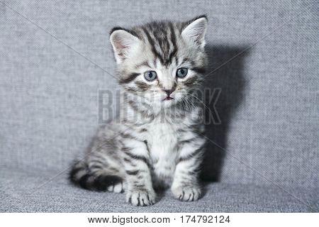 kitten sitting. tabby kitten little kid Striped