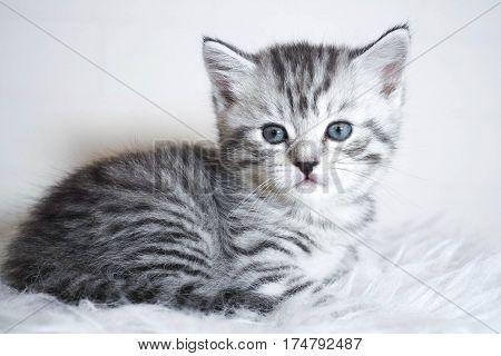 Striped kitten lying. Kitten with blue eyes
