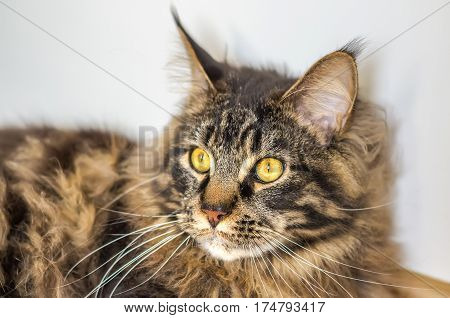 The tabby Maine Coon with deep yellow eyes lying and looking away. Horizontal indoors shot.