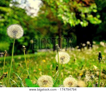 Green lawn for relaxation and recreation. Green grass and dandelions Wild nature