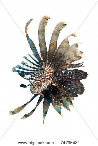 Lionfish. Tropical reef fish isolated on white background