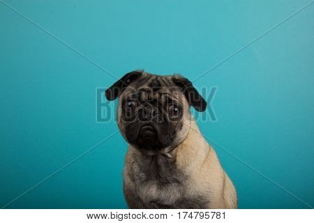 Funny pug staring against plain teal background