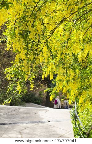blurred background landscape view of two women tourists coming down the stairs in the park of Livadia Palace in Crimea in spring among blossoming yellow acacia