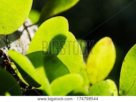 Green leaf shadow with texture and pattern of tropical nature selective focus