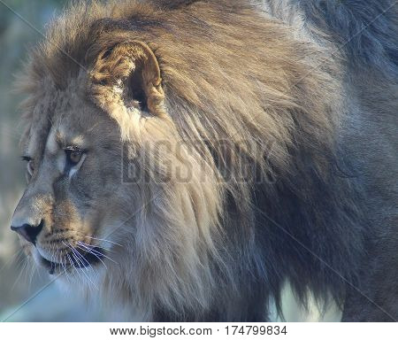 Lion's head. King of animals. Image of adult lion.