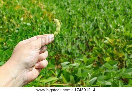 Hand Holding A Green Soybean Pod On A Plantation