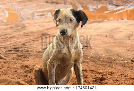 Dirty Farm Dog Sitting On The Ground