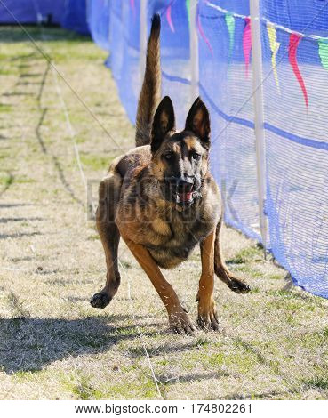 Excited Malinois chasing a lure on the grass at the park