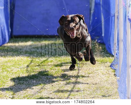 Chocolate Labrador Retriever on a lure course