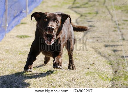Intense chocolate Labrador Retriever chasing a lure at the park