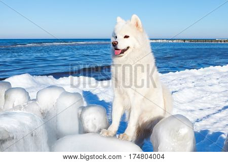 White Samoyed dog looking at the beautiful winter sea