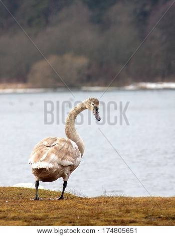 The gray swan looks back standing on the coast of the lake