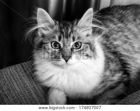 Fluffy Grey Cat portrait black and white closeup