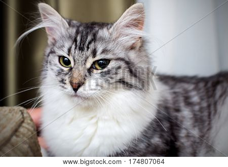 Fluffy Grey Cat with green eyes portrait close up