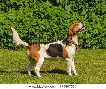 English beagle - an exterior hunting the hound of a dog