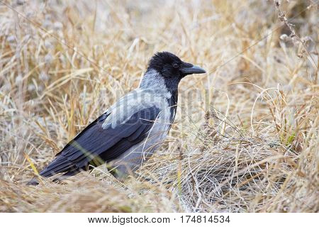 Hooded crow (Corvus cornix) standing side view