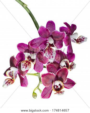 blooming twig of beautiful dark cherry orchid phalaenopsis is isolated on white background