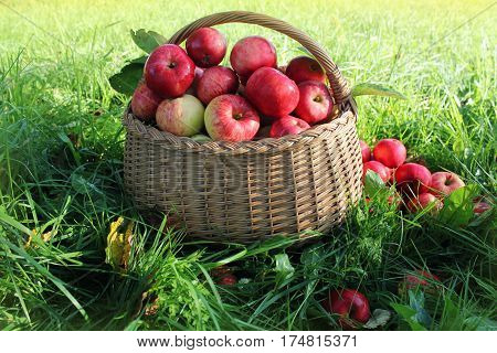 Healthy organic apples in the basket in garden