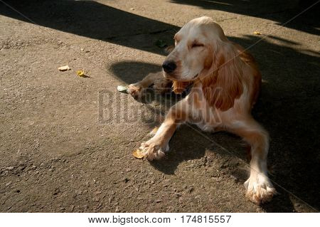 spaniel lying on pavement. Dog waiting for his master at the store