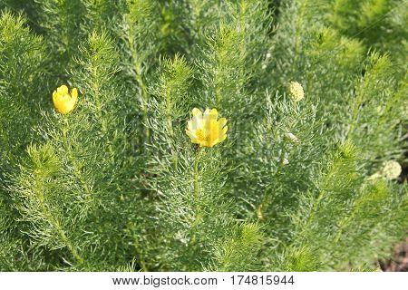 Yellow pheasant's eye (Adonis vernalis) medicinal plant