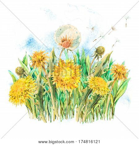 Watercolor spring flowers yellow and white dandelions, butterfly. Natural hand painted floral watercolor illustration isolated on white background