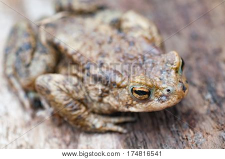 earth frog (bufonidae) sitting on brown wooden background