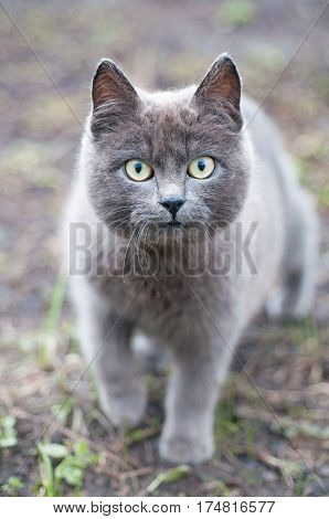 The gray cat with big green eyes. Gray cat.